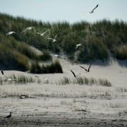 Ameland meeuwen op het strand – duinen Hollum Ameland Boerkerij