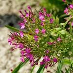 Ameland natuur in bloei – Boerkerij
