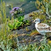 Ameland natuur in bloei – vogel – Boerkerij