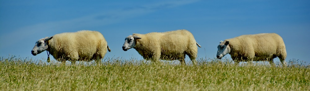 De Boerkerij - schapen op Ameland