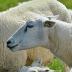 Schapen Boerkerij – Hollum Ameland