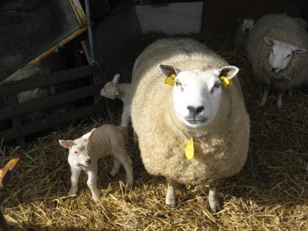 De eerste lammeren zijn bij ons geboren
